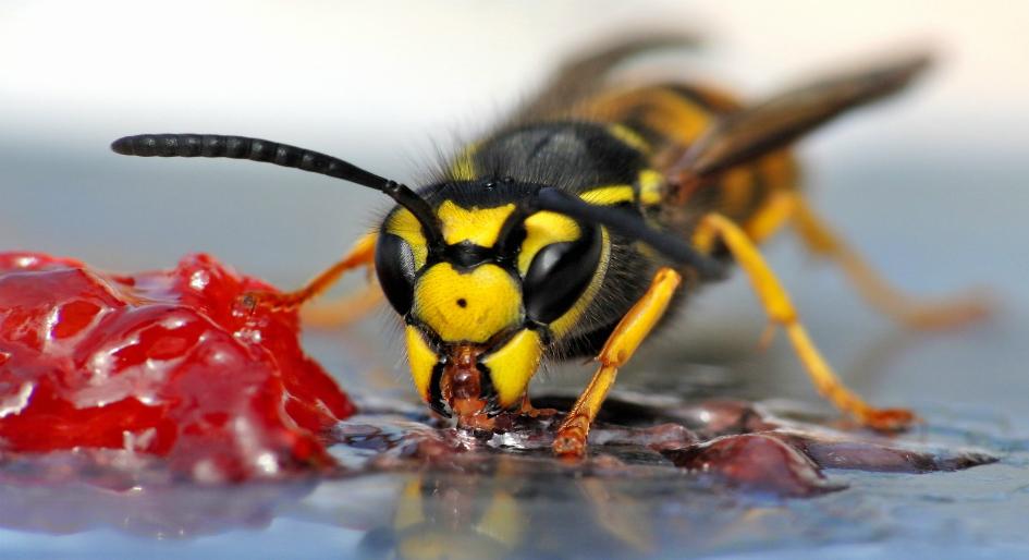 """Résultat de recherche d'images pour """"wasps"""""""